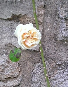 Yellow Rose that procrastinated a little and took its time flowering, only appearing at the end of September